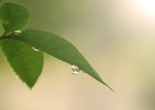 © raindrop refractions sunflare roseleaf sigma105mmf28 garyburke olympuse620 aftertheraindroplet