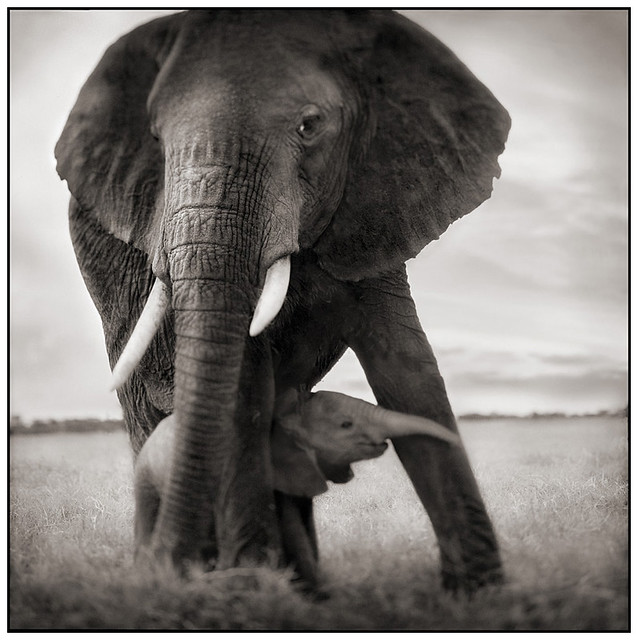Elephant Mother & Baby Holding Leg, by Nick Brandt