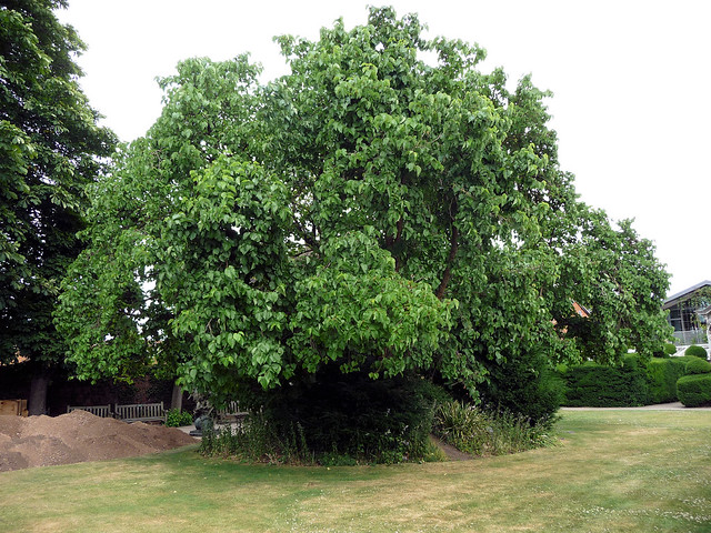 Black Mulberry - Morus nigra
