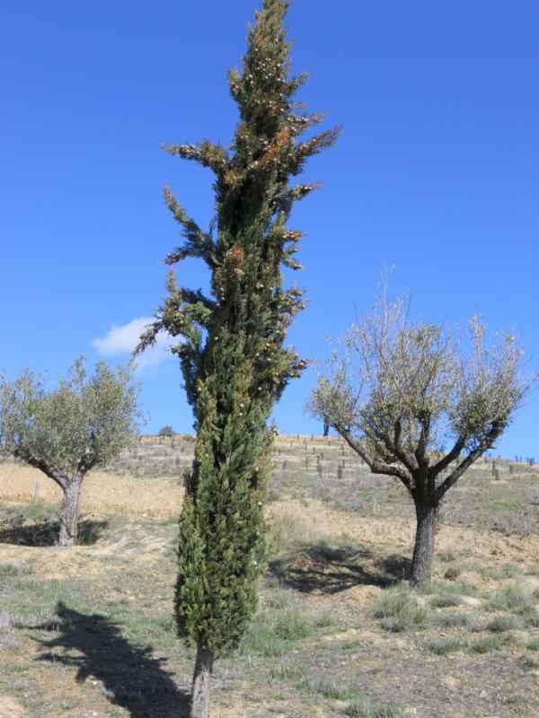 Cupressus sempervirens 'Stricta' v 3