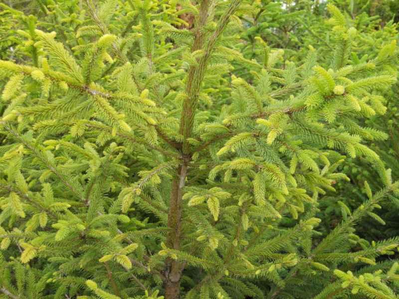 Picea abies 'Excelsa' 2