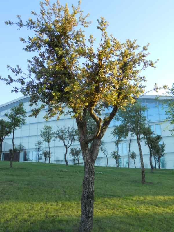 Quercus suber v 1