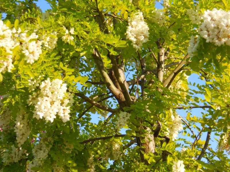 Robinia pseudoacacia 'Frisia' detalle copa 3