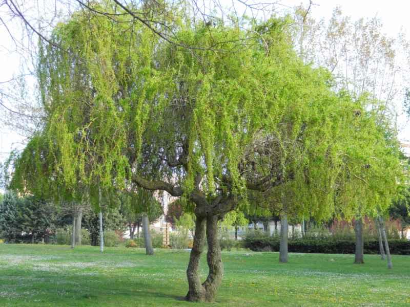 Salix babylonica 'Pekinensis' 1