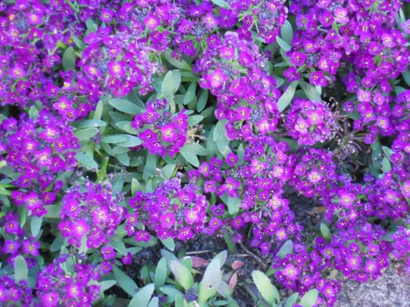 Lobularia maritima violeta 3