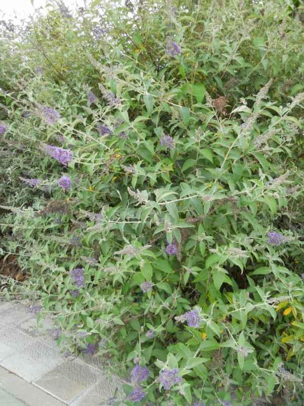 Buddleja davidii 'Fastinating' flor v 2