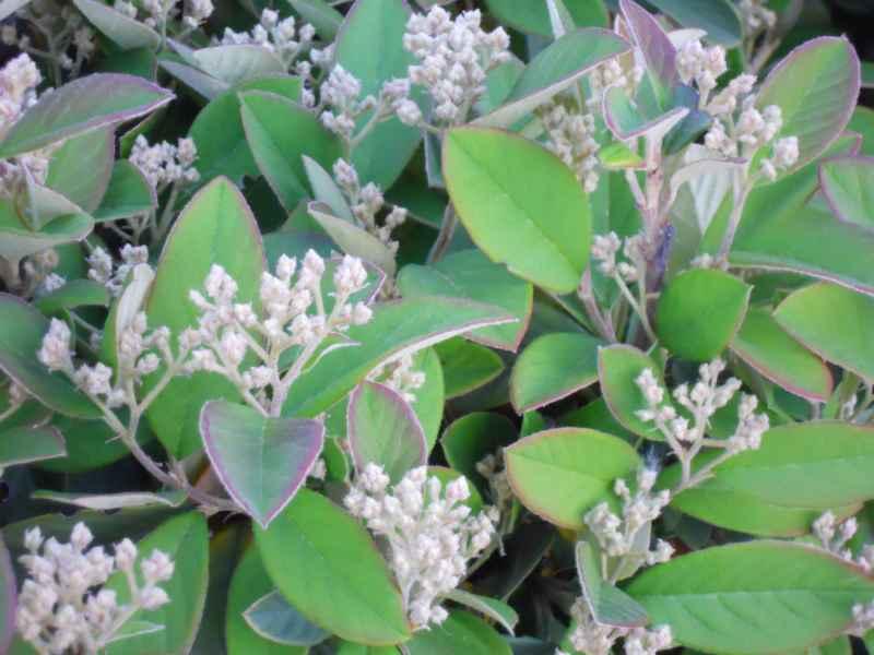 Cotoneaster franchetii.. detalle 2