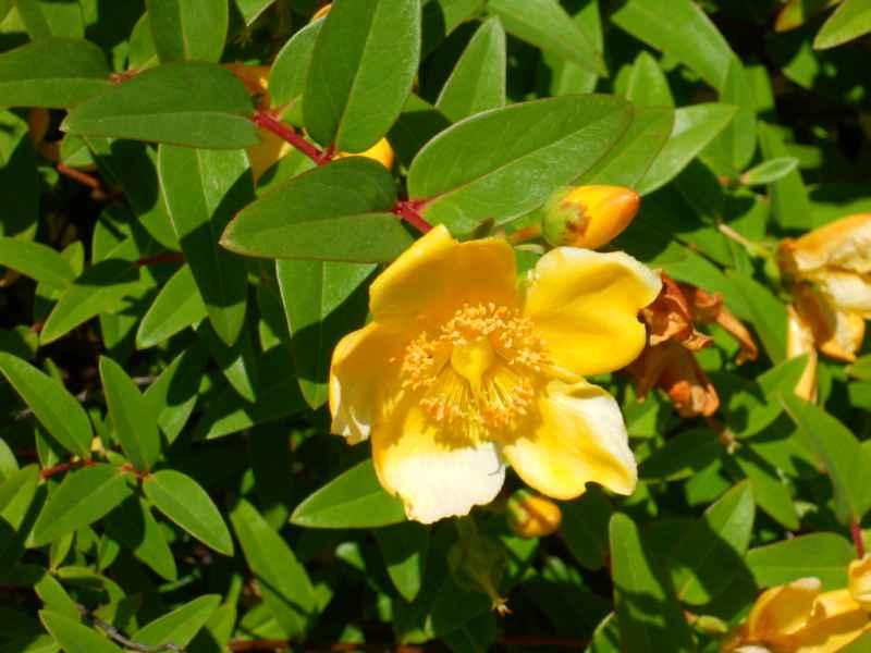 Hypericum hoockerianum 'Hidcote' 4