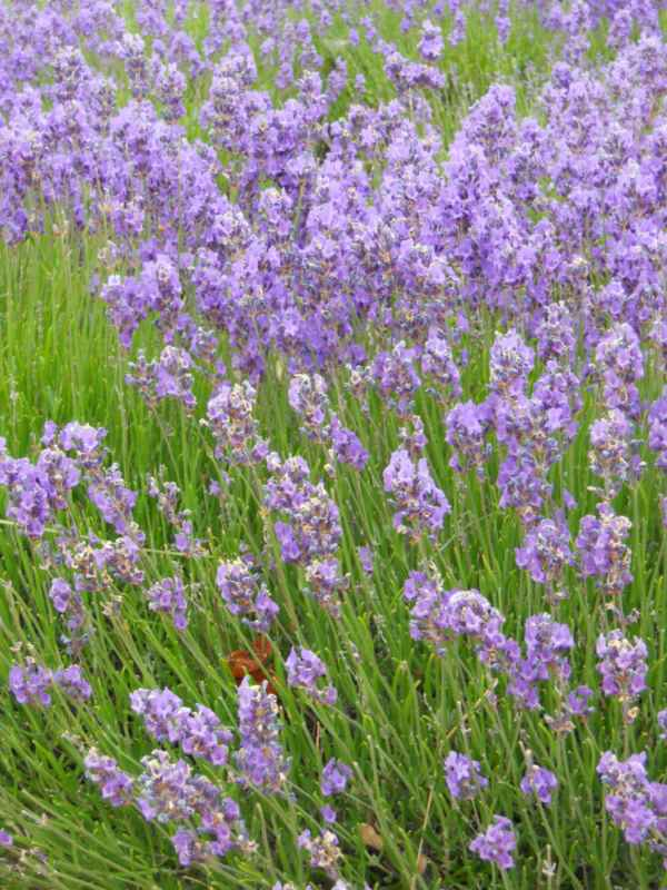 Lavandula officinalis v 1