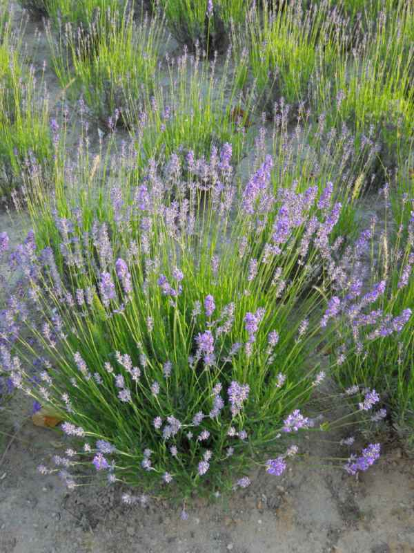 Lavandula officinalis v 2