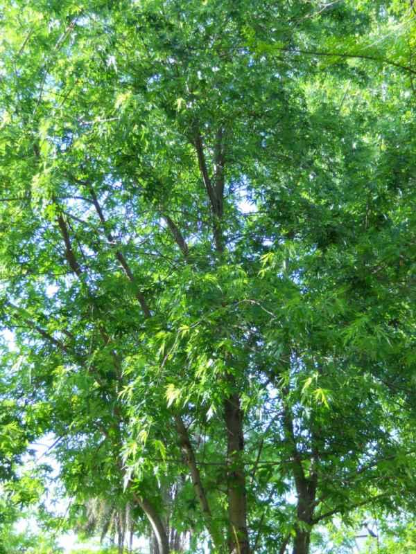 Acer saccharinum v 1