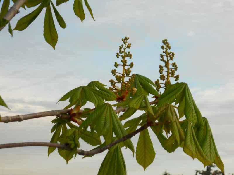 Aesculus hippocastanum brotando 5