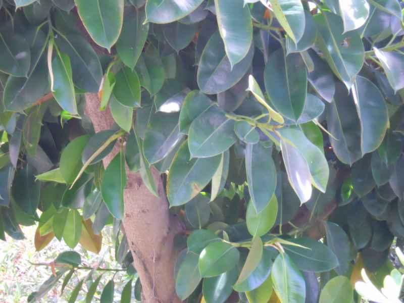 Ficus elastica hojas 2
