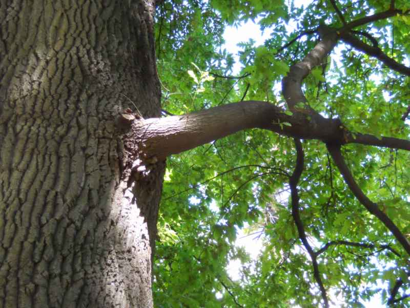 Quercus cerris detalle ramas 2