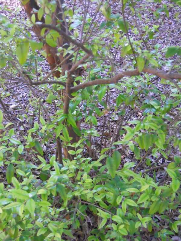 Myrtus communis v 1