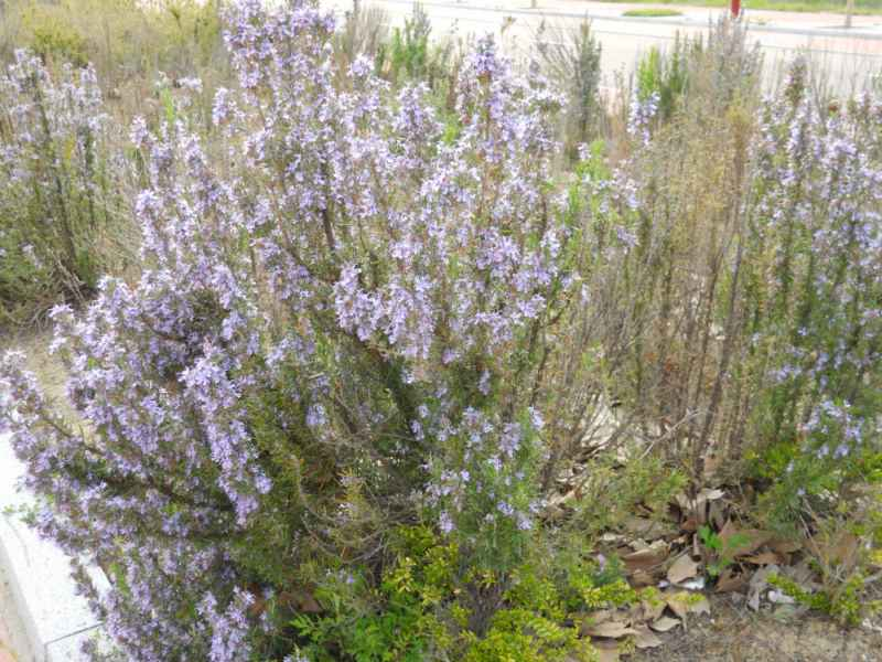 Rosmarinus officinalis 'Corsican Blue' 4