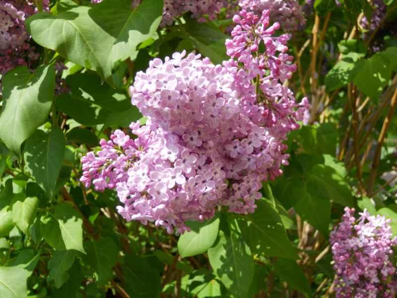 Syringa vulgaris 2