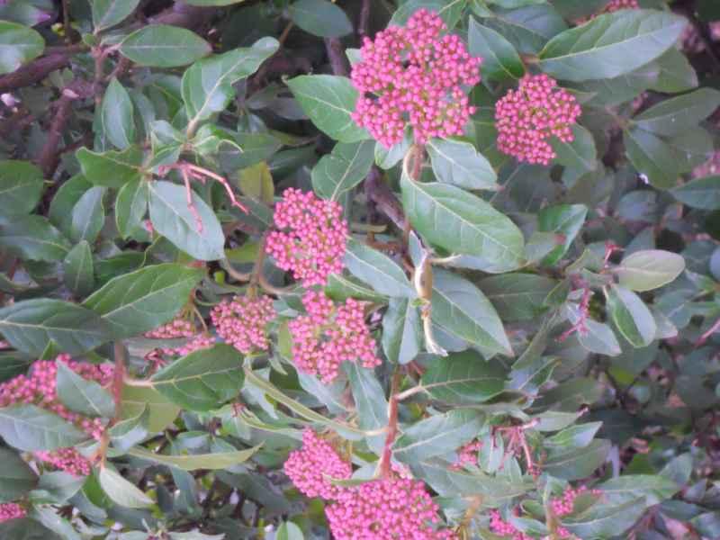 Viburnum tinus 'Eve Price' 1