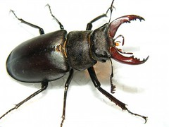japanese rhinoceros beetle(0.0), arthropod(1.0), animal(1.0), invertebrate(1.0), insect(1.0), fauna(1.0), close-up(1.0), beetle(1.0), pest(1.0),