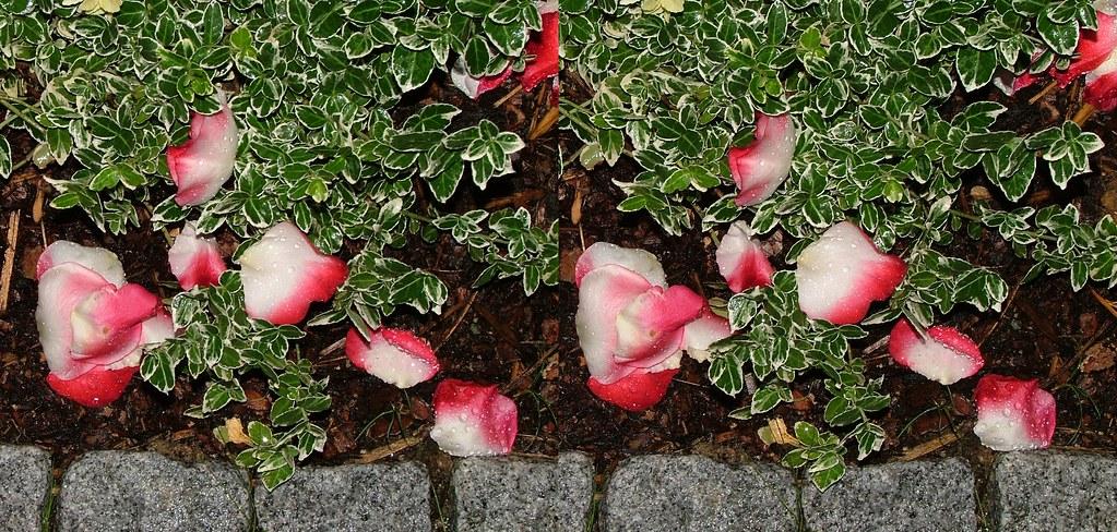 Rose Petals (Nostalgia) In 3D