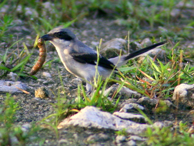 Shrike with big grub (prey ID please) 20100719