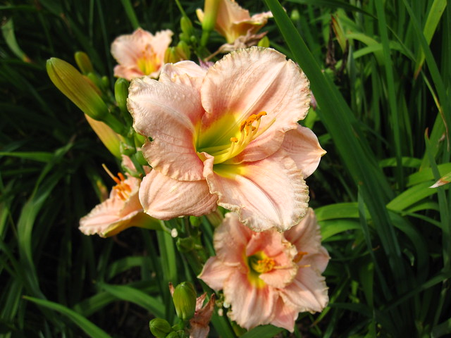 Daylily (Hemerocallis) 'Country Melody' blooms in the Monocot Border. Photo by Rebecca Bullene.
