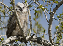 hawk(0.0), animal(1.0), bird of prey(1.0), branch(1.0), owl(1.0), fauna(1.0), great grey owl(1.0), bird(1.0), wildlife(1.0),