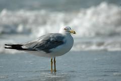 Sea Gull-0605