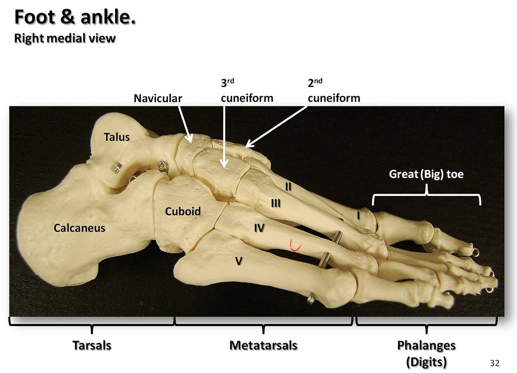 Bones of the foot and ankle, medial view with labels - Appendicular ...