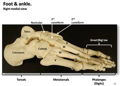Bones of the foot and ankle, medial view with labels - Appendicular Skeleton Visual Atlas, page 32