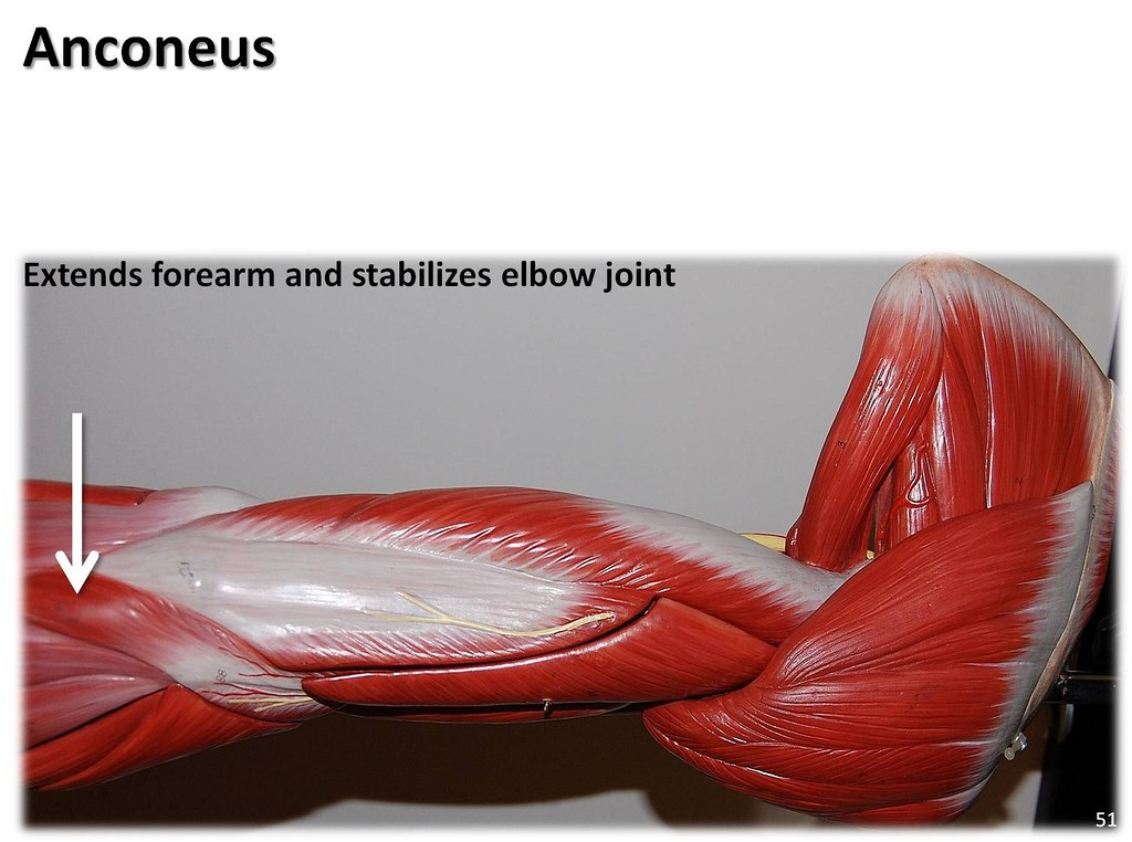 Anconeus Muscles Of The Upper Extremity Visual Atlas Page 51 A