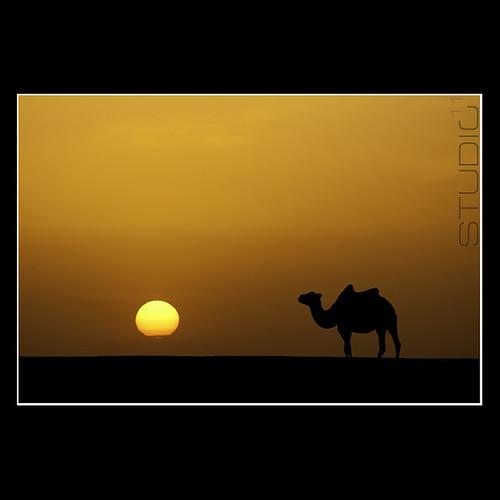 sunset sun silhouette camel gobi studio11 magnífico mrgg canon50d flickrdiamond theunforgettablepictures ggmgl bestcapturesaoi elitegalleryaoi mygearandmepremium mygearandmebronze ganulziig