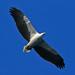 Haliaeetus - Photo (c) David Cook, algunos derechos reservados (CC BY-NC)