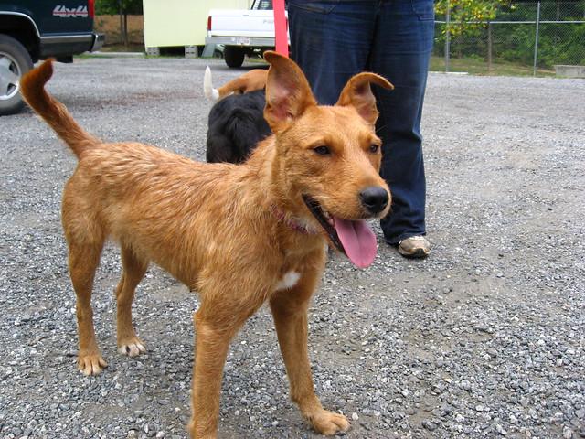 Adopt Airedale Terrier Mix, Marissa | Flickr - Photo Sharing!