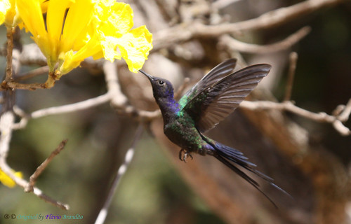 brazil naturaleza bird nature birds animal animals brasília brasil cores hummingbird natureza pássaro aves ave series hummingbirds animais cor pássaros série beijaflor tesoura colibri picaflor swallowtailed macroura beijaflortesoura séries colibris eupetomenamacroura beijaflores swallowtailedhummingbird eupetomenamacrourus eupetomena fláviobrandão macrourus