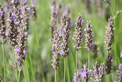 lavandula dentata(0.0), grass(0.0), lavandula stoechas(0.0), wildflower(0.0), dactylorhiza praetermissa(0.0), hyssopus(1.0), prairie(1.0), flower(1.0), field(1.0), english lavender(1.0), plant(1.0), lavender(1.0), lilac(1.0), lavender(1.0), flora(1.0), meadow(1.0),