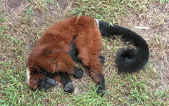 sleepy red lemur