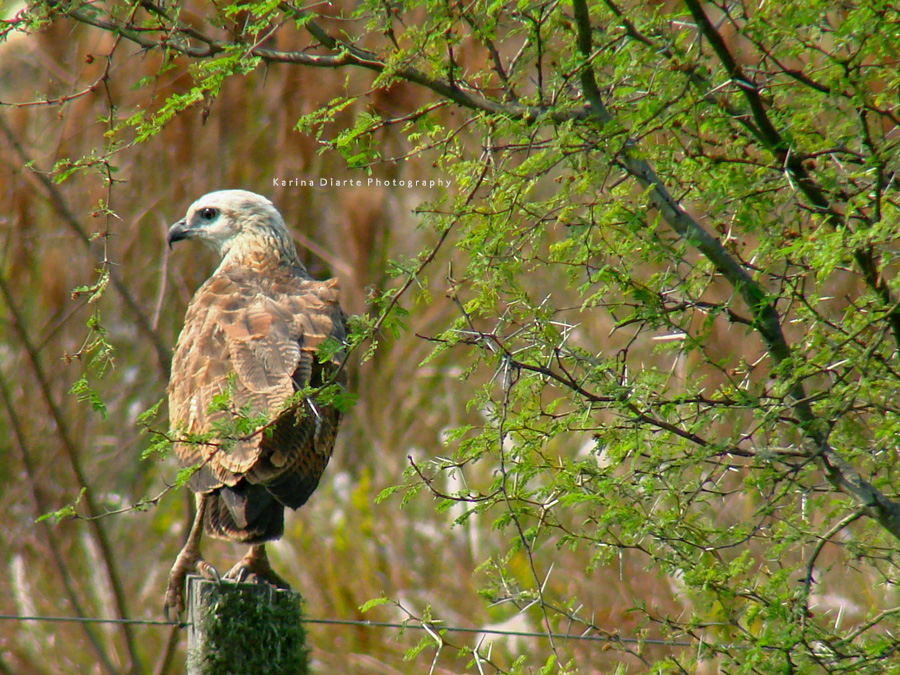Gavilán del Estero / Black-collared Hawk