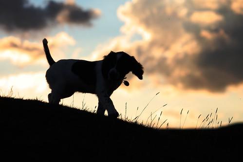 dog cute english puppy spaniel springer springerspaniel doggy pup liver puppydog englishspringerspaniel englishspringer englishspaniel liverandwhite colorphotoaward