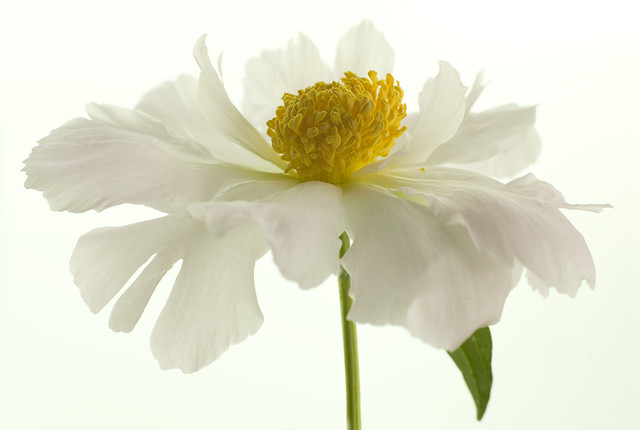 Beautiful  White Peonie by dmetz photography-Creationsbyds
