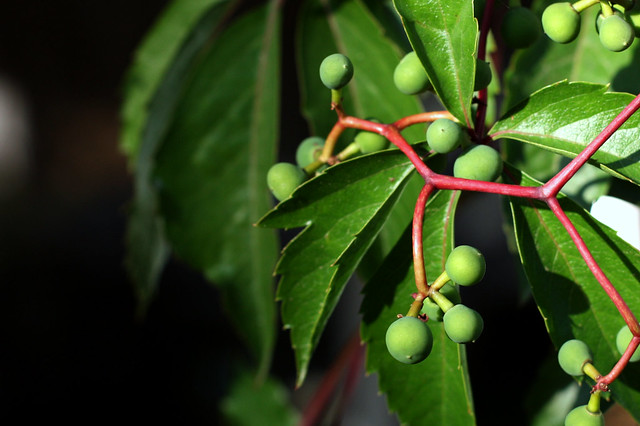 climbing vine berries | Flickr - Photo Sharing!