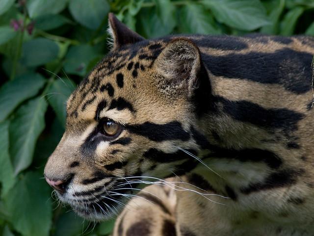 Sunda Clouded Leopard (Neofelis Diardi), Santago