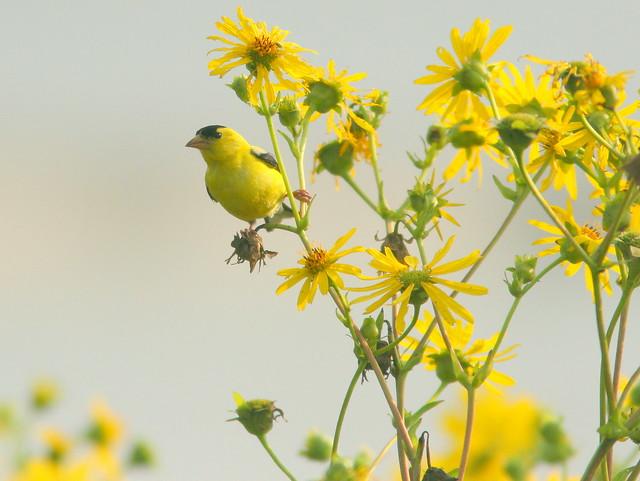 American Goldfinch 20100820