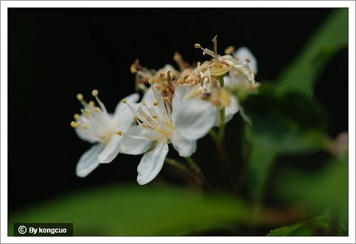 12.虎耳草科溲疏属小花溲疏2