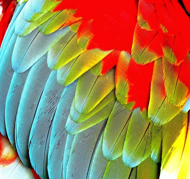 Parrot feathers - photo#4