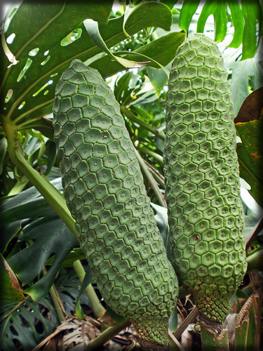 Monstera-fruit-080710-1