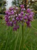 Allium cernuum, Ornamental Nodding Onion