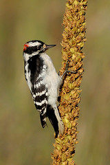Downy Woodpecker DSC_0188 by Mully410 * Images