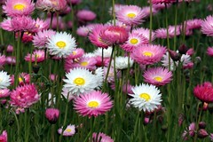 annual plant, flower, plant, marguerite daisy, wildflower, flora, oxeye daisy, daisy, petal,
