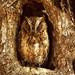581_Madagascar Scops Owl by freddyjohansen